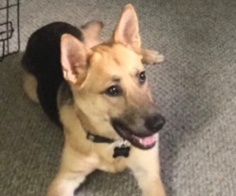 Fanny Boy, an adoptable German Shepherd Dog Mix in Jefferson City, MO