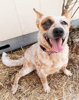Patches is a 1 yr oldfemale purebred Australian Cattle Dog Shes a red with an
