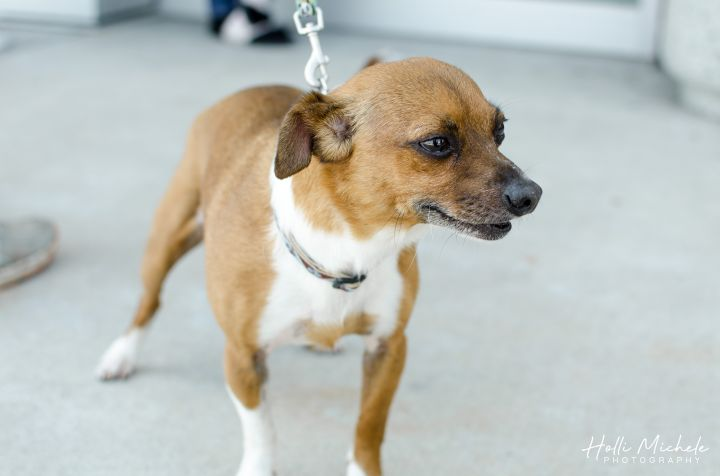 Tuffy, an adoptable Chihuahua Mix in Springfield, MO