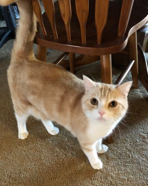 Meet Mr Boove Mr Boove is a very handsome American ShorthairPersian mix He has the most adorabl