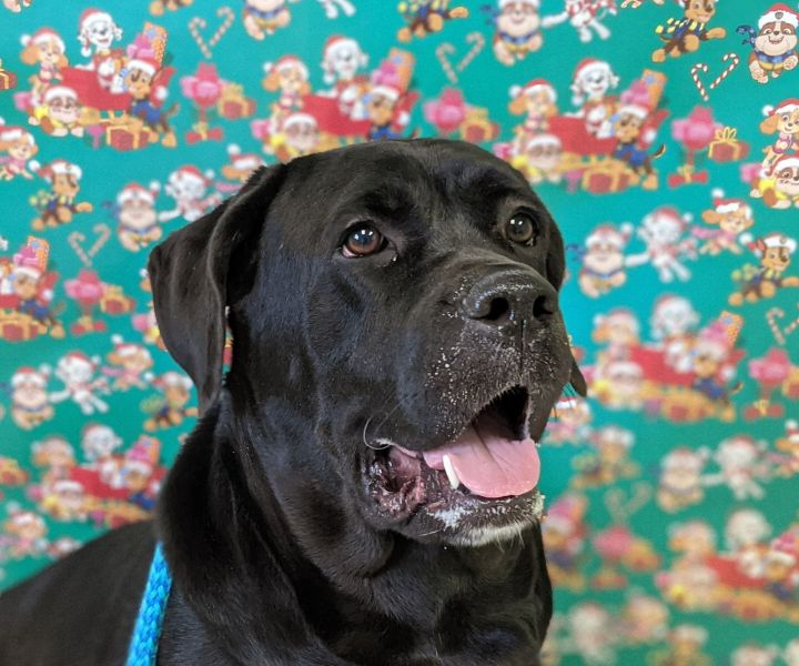 Ebony, an adoptable Cane Corso in Bloomington, IL