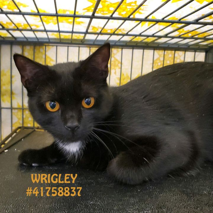 Wrigley, an adoptable Domestic Short Hair in Wilkes Barre, PA