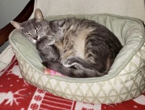 Trixie is all about meowing and chilling Pet and rub this 3-4-year-old lady und