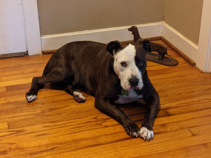 Big Mama, an adoptable Pit Bull Terrier Mix in Greenville, NC