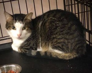Meet one of our newest kitties available for adoption Bangs This gorgeous tabby came to DAWS a few