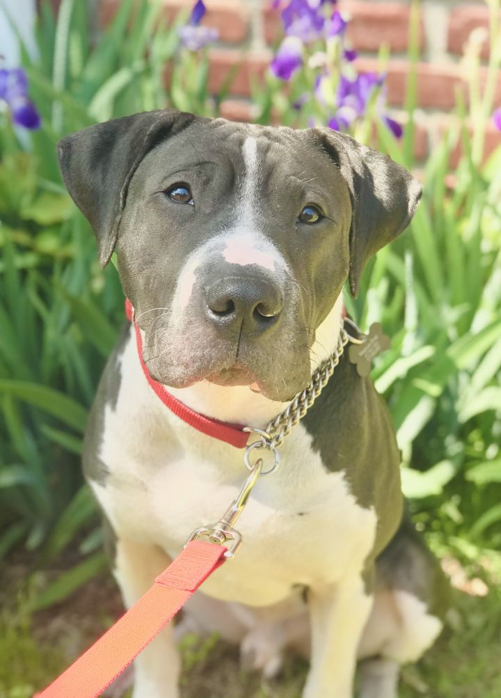 Slate, an adopted Pit Bull Terrier Mix in Springfield, MO