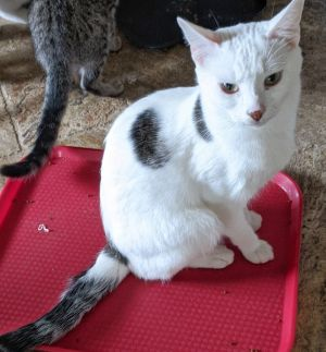 Othani is a white male cat with two tabby stripped spots and a tabby striped tail He is very sweet