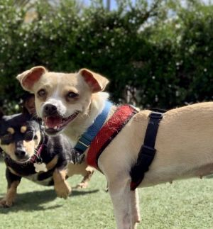 This little smiling beauty is Gayle She is a 5 year old Chihuahua mix who likes other dogs of a