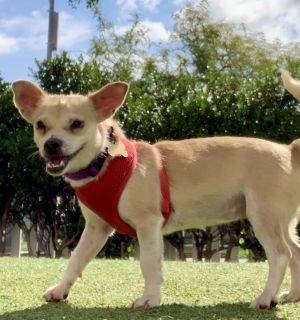 This pretty pup is Oprah She is a 2 year old Chihuahua mix from the East Valley Shelter and she