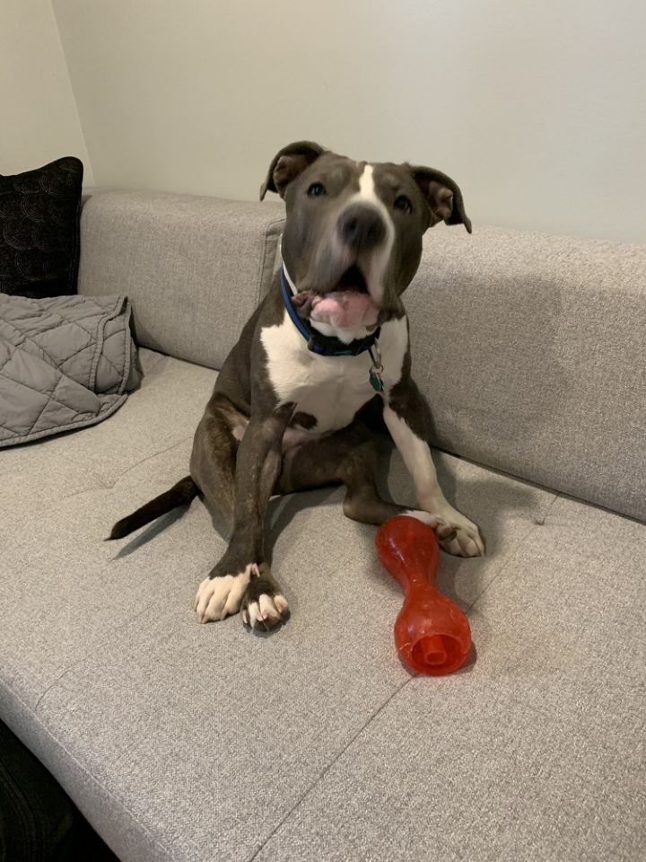 Odin, an adoptable Pit Bull Terrier in New Albany, OH