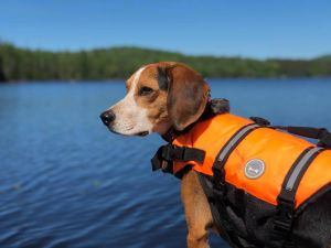 Argos is a 3 year old beagle that needs the following in a new home to succeed -No apartments- a