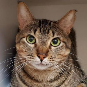 Optimus will transformer into the cat of your dreams right before your eyes He is a loving outgoin
