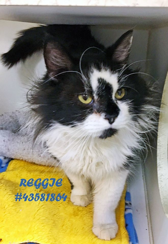 Reggie, an adoptable Domestic Long Hair in Wilkes Barre, PA