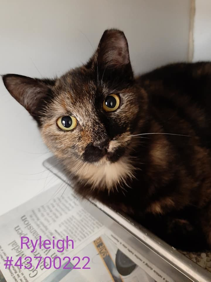 Ryleigh, an adoptable Tortoiseshell & Domestic Short Hair Mix in Wilkes Barre, PA