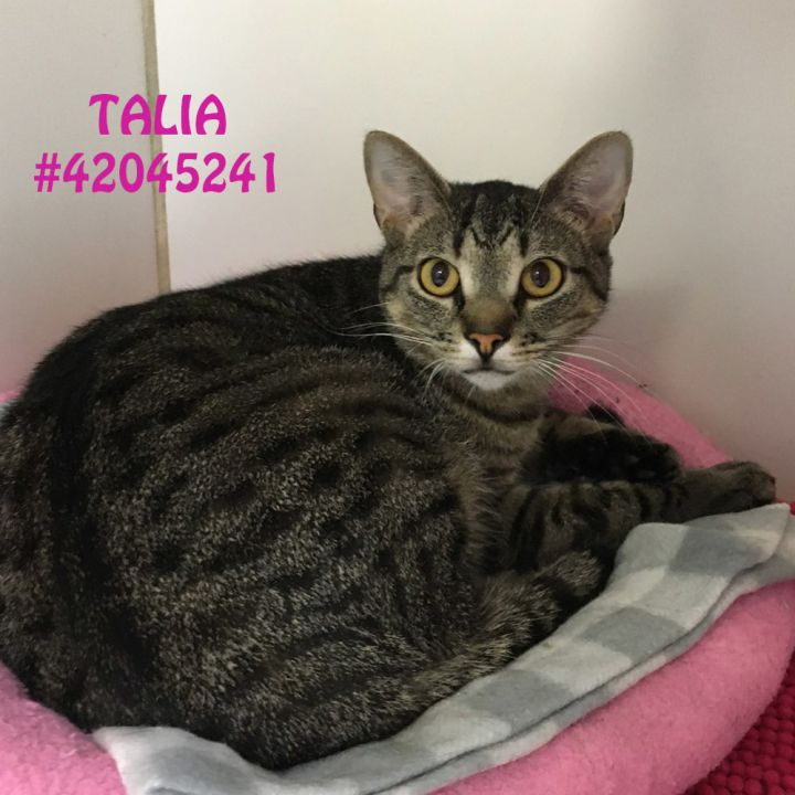 Talia, an adoptable Tiger & Domestic Short Hair Mix in Wilkes Barre, PA