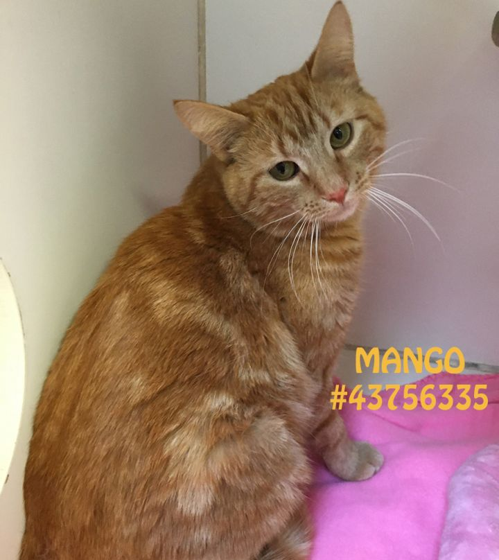 Mango, an adoptable Tabby & Domestic Short Hair Mix in Wilkes Barre, PA