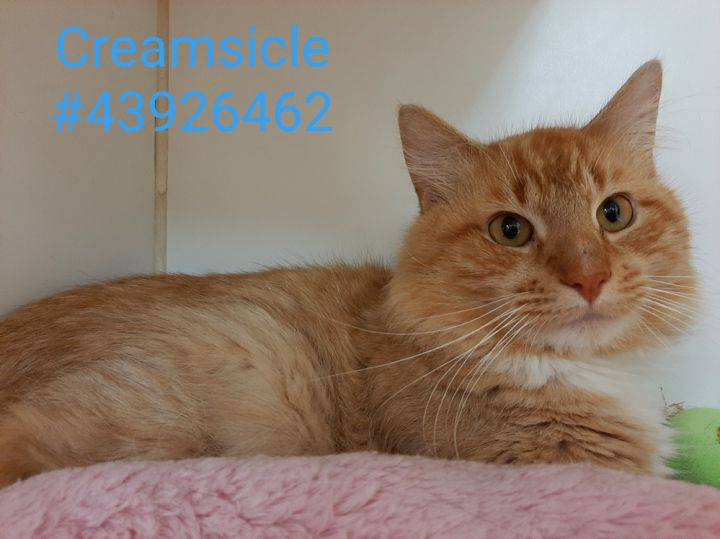 Creamsicle, an adoptable Tabby & Domestic Long Hair Mix in Wilkes Barre, PA