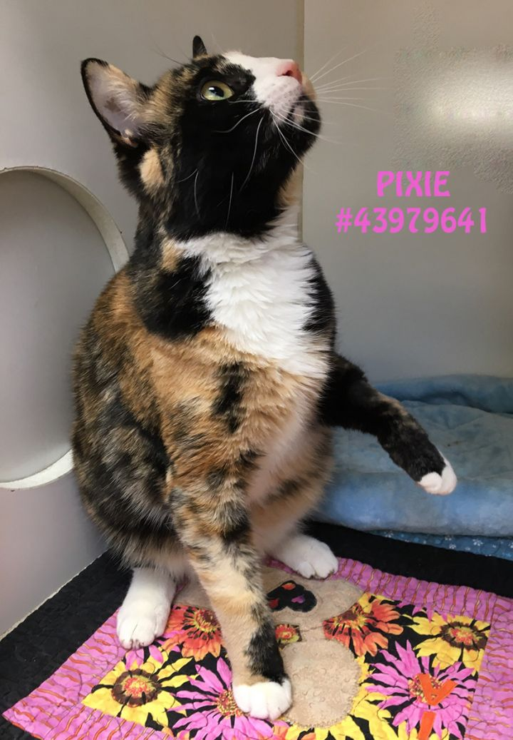 Pixie, an adoptable Calico & Domestic Short Hair Mix in Wilkes Barre, PA