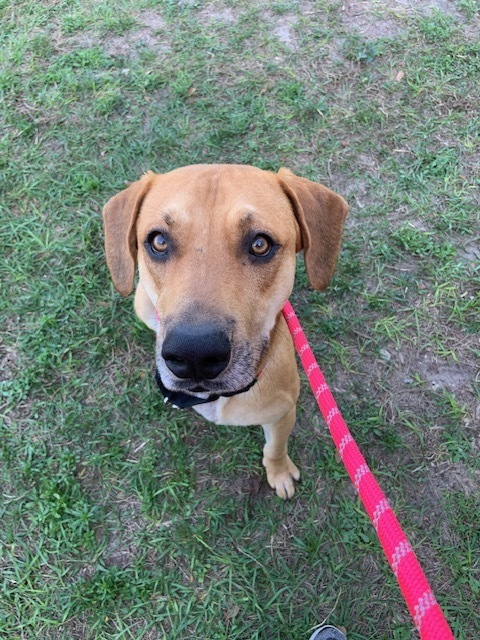 Tow Truck, an adoptable Black Mouth Cur in Winter Haven, FL