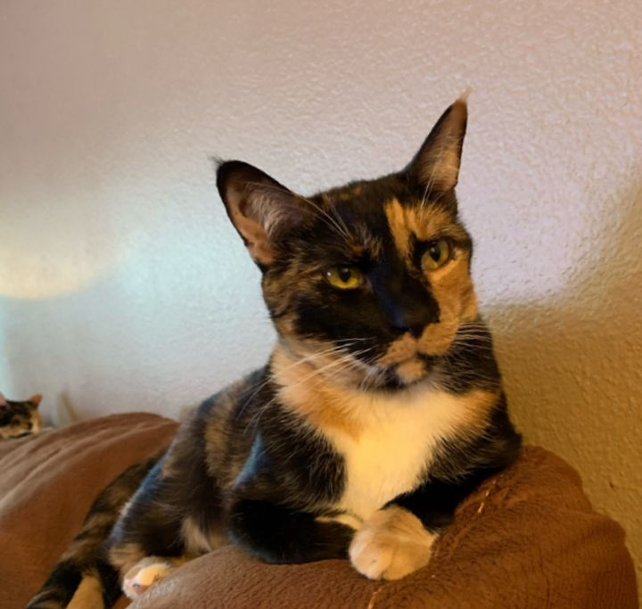 Ruby, an adopted Calico & Domestic Short Hair Mix in Mission Viejo, CA
