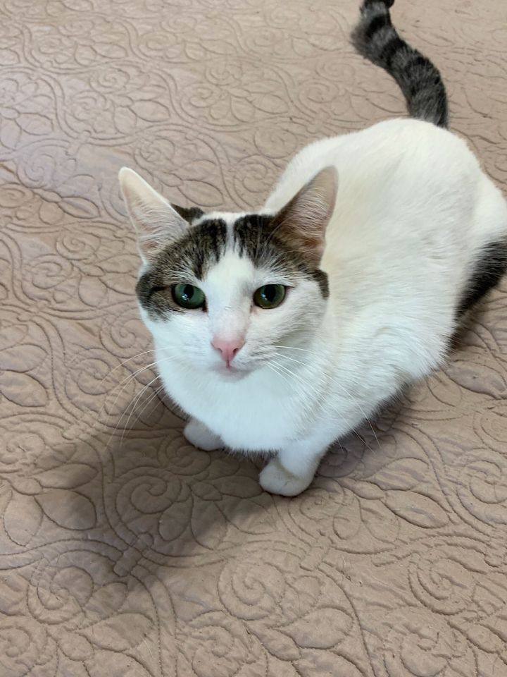 Mino, an adopted Turkish Van & Domestic Short Hair Mix in Mission Viejo, CA