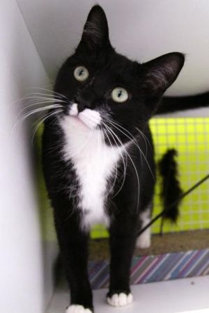Gracie Mae (bonded to Hope) Domestic Short Hair Cat