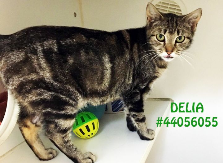 Delia, an adoptable Domestic Short Hair in Wilkes Barre, PA