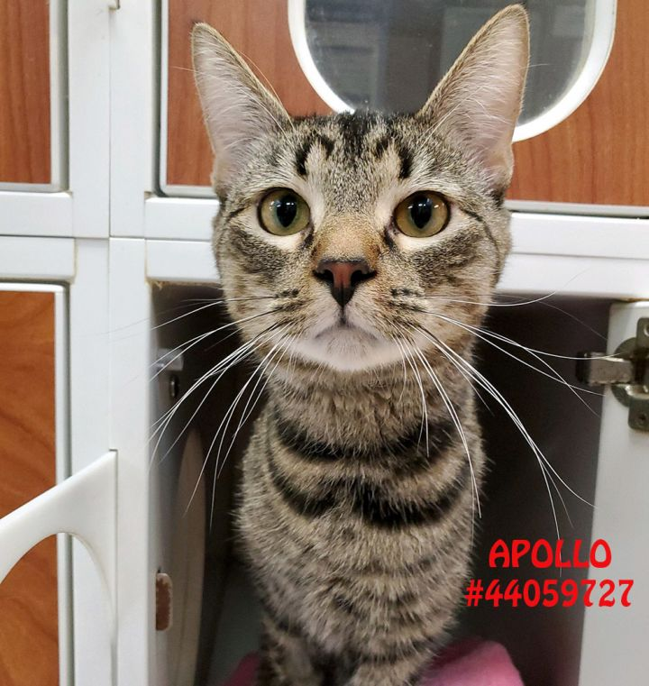 Apollo, an adoptable Domestic Short Hair & Tabby Mix in Wilkes Barre, PA