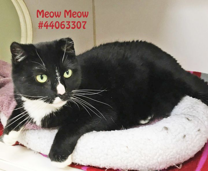 Meow Meow, an adoptable Domestic Short Hair & Tuxedo Mix in Wilkes Barre, PA