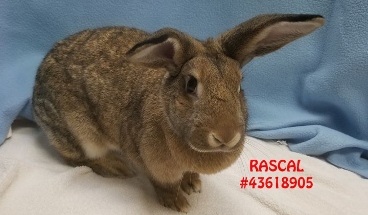 Rascal, an adoptable Lop Eared in Wilkes Barre, PA
