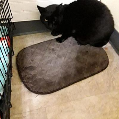 Little Sister, an adoptable Domestic Short Hair in Medford, NY