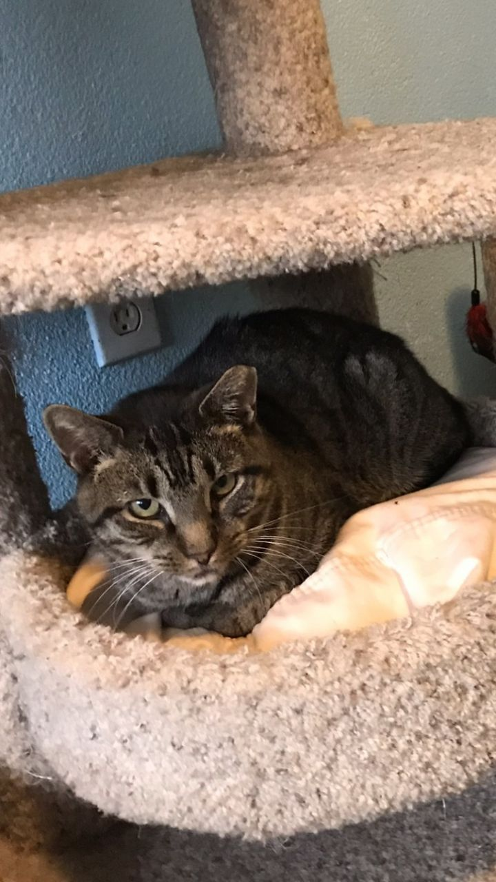Tiger Boy, an adoptable Domestic Short Hair in Medford, NY