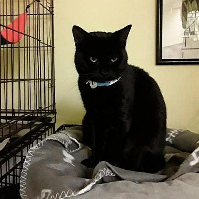 Benny, an adoptable Domestic Short Hair in Medford, NY