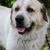 BIG DOGS RULE Durango is a big good-looking sweet 3 years old male Great Pyre