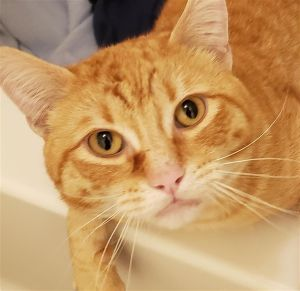 Primary Color Orange Tabby Weight 108875lbs Animal has been Neutered