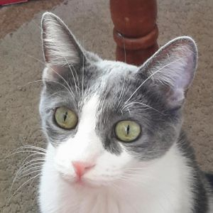 Dinah is a 3 year old grey and white sweet friendly cat who is not extremely playful She loves to