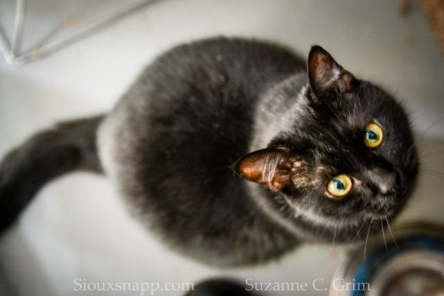Wolfgang, an adoptable Domestic Short Hair in New Orleans, LA
