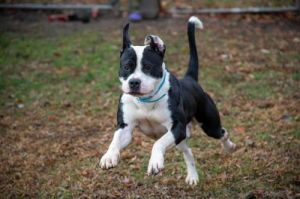 Spartacus American Bulldog Dog