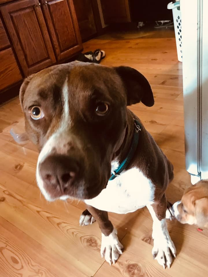 Rex, an adopted Pit Bull Terrier Mix in Greenville, NC