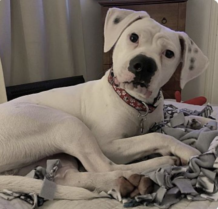 Jay, an adopted American Bully & Boxer Mix in Coral Springs, FL