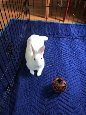 PEBBLES New Zealand Rabbit