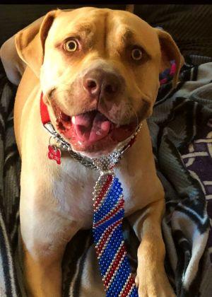 Albert (Smiley Boy!) Labrador Retriever Dog