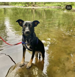 REMY 3yo Kelpie Mix Spayed Female NEEDS HOME OUTSIDE OF THE CITY Little by l
