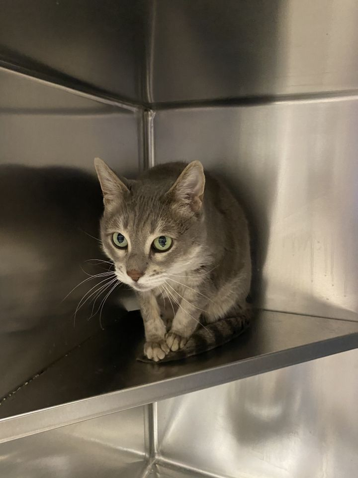 Silver *Bonded to Raja*PSP*, an adoptable Domestic Short Hair Mix in Appleton, WI