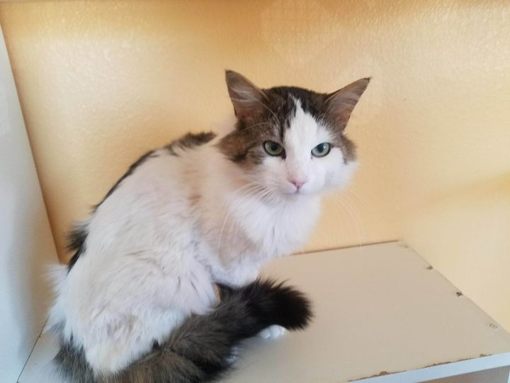 Lucky, an adopted Domestic Long Hair in Ridgway, CO