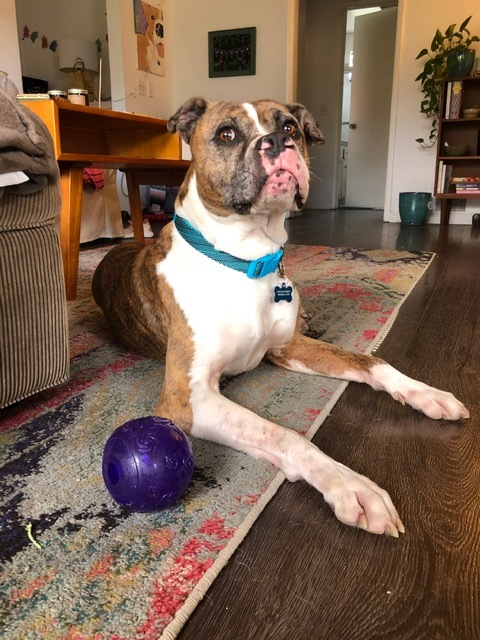 Bo, an adoptable Boxer in Pasadena, CA