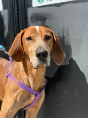 FERGUS - 8 years old - Redtick Coonhound - 51 lbs - Medium Active  Adopter Should Have Primary Larg
