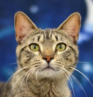 Pax is an impressive cat with a certain dignity and cattitude Just a youngster this boy is super a