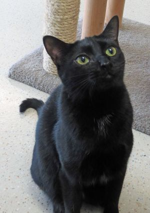 Molly Malone Domestic Short Hair Cat