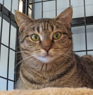 Tommy Girl Domestic Short Hair Cat